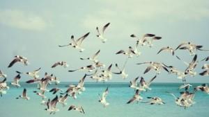 чайки белокрылые.MP3